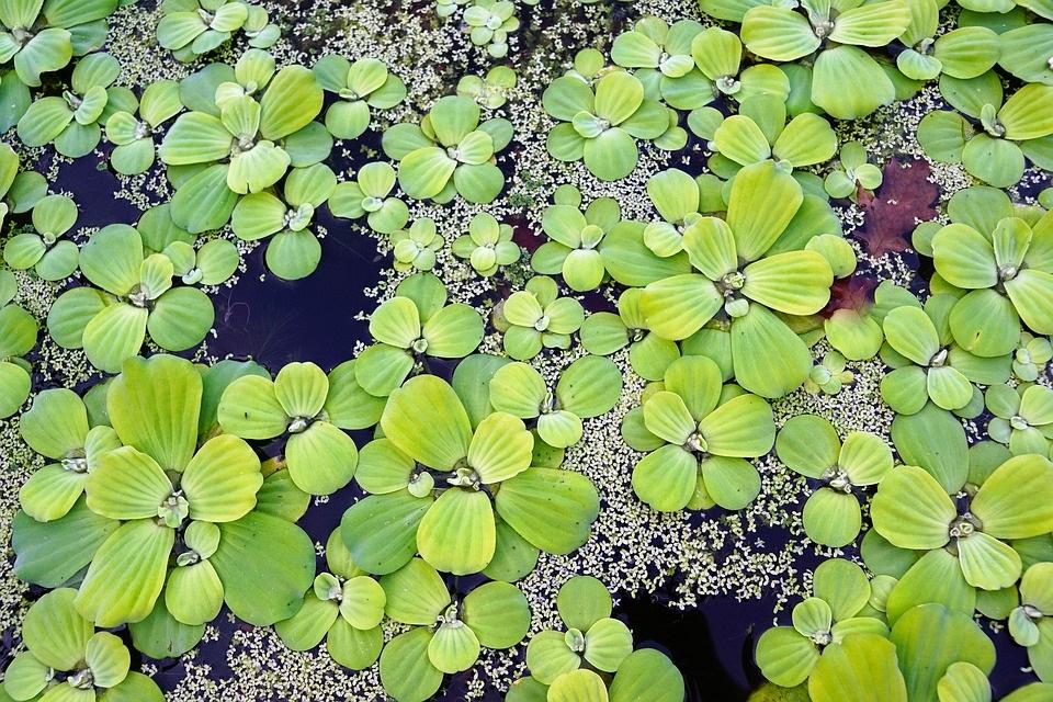 Waterplanten vijver
